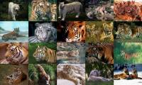 Tigers Photo Screensaver screenshot