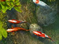 Koi Fish 3D Screensaver screenshot
